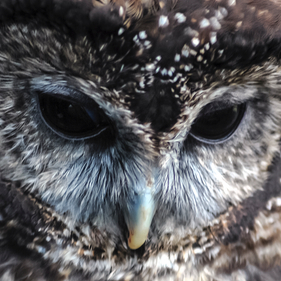 Northernspottedowlthumbnail