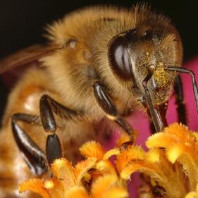 Honeybeethumbnail