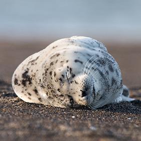 Sealpupthumbnail