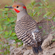 Speciesspottingnorthernflicker