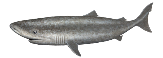 Pacific Sleeper Shark | Oceanscape Network