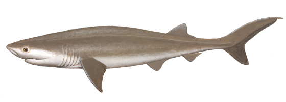 sharks teeth rows