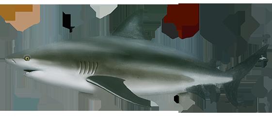 Bull Shark | Oceanscape Network