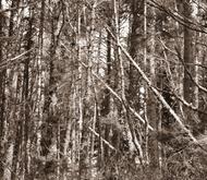 Ssforest6