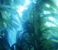 Kelpforests1