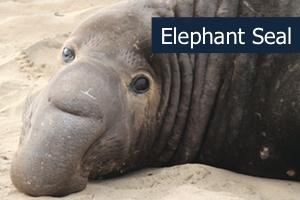 Elephantseal