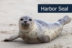 Harborseal