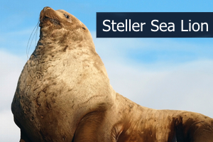 Stellersealion