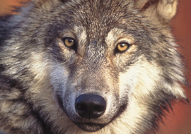 Missinganimalsgraywolf