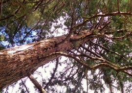 Sslithiaparkgiantsequoia