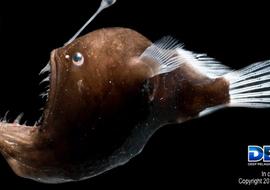 Deependdeepseafish1