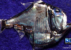 Deependdeepseafish3