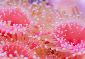 Tidepoolsstrawberryanenomes