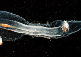 Ssheteropod1
