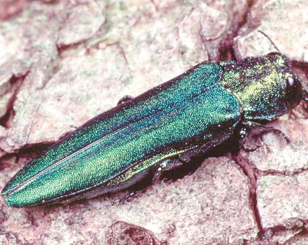 The emerald ash borer alone has the potential to cause $12.7 billion in damage to U.S. trees by 2020, according to a peer-reviewed study this year by more than a dozen experts. (Photo provided)