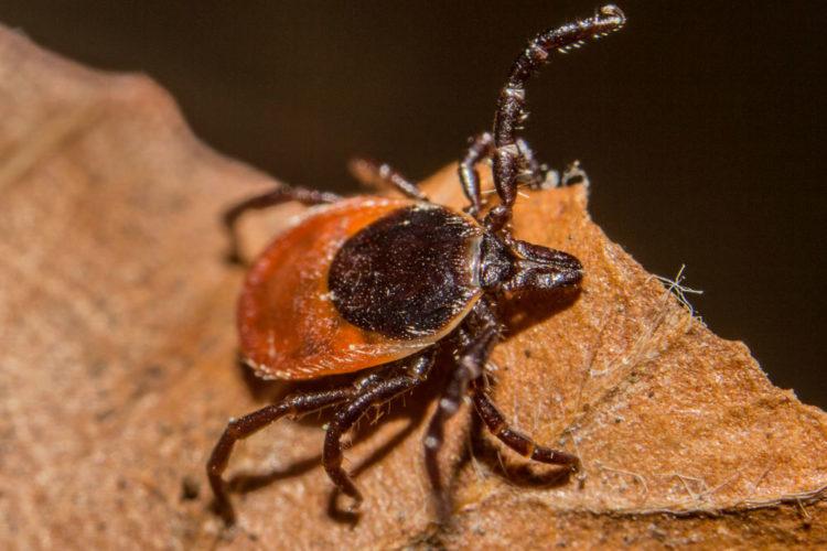 Blacklegged (deer) tick (Photo provided — Lennart Tange)