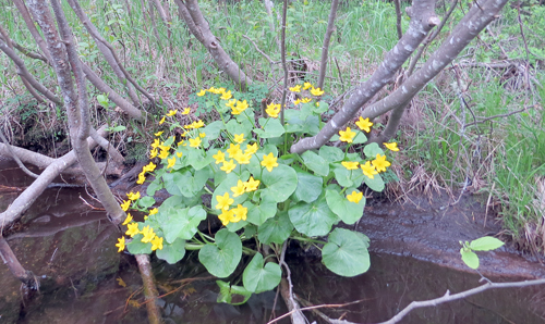 Marsh Marigolds are currently blooming in local bogs and wetlands, which is a sign that the fishing season is ready for a breakthrough weekend. (Photo — Joe Hackett)