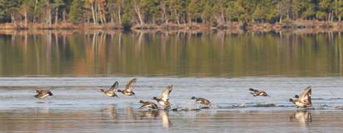 A flock of Lesser Scaup ducks take off from over Lake Clear. (Enterprise file photo — Lou Reuter)