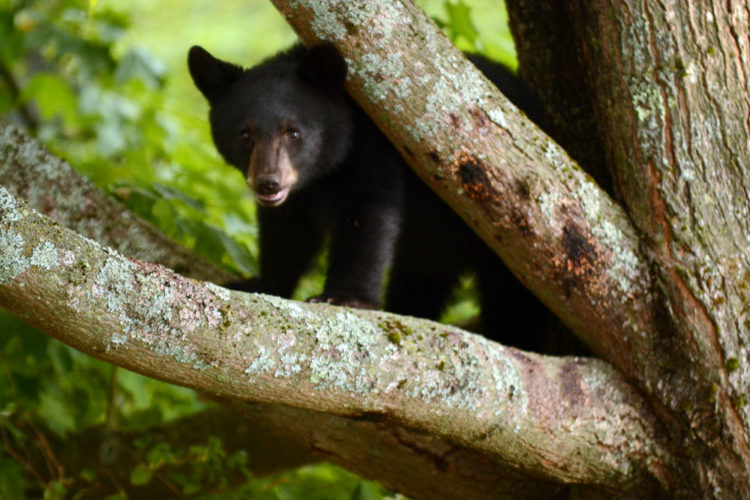 A bear cub is stuck in a tree in Lake Placid in 2014. (Enterprise photo — Lou Reuter)