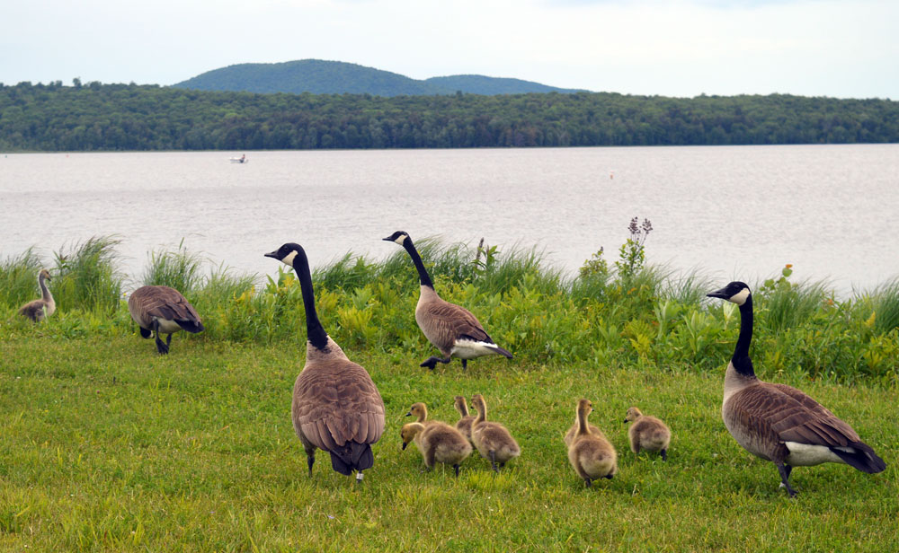 Canada geese protect their goslings on the shore of Raquette Pond in Tupper Lake Thursday. (Enterprise photo — Antonio Olivero)