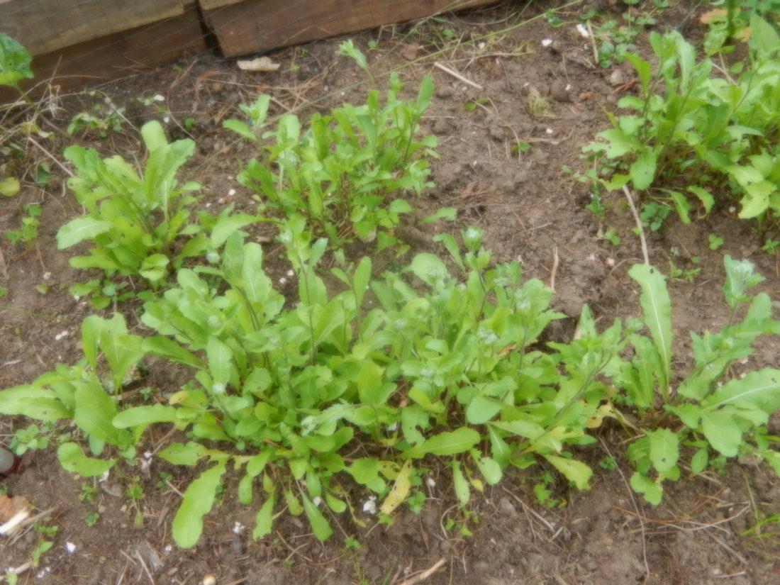 Arugula in the garden (Photo provided — Yvona Fast)