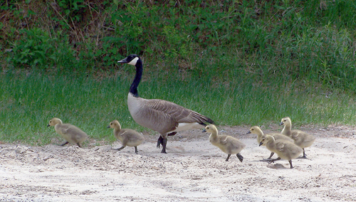 A mother goose leads her pack of goslings across a carry between two ponds. Paddlers should be aware that geese are among the most protective of all birds, as both parents protect the nest. (Photo — Joe Hackett)