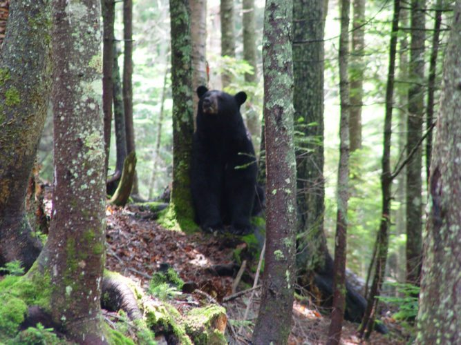 A black bear is seen near Lake Colden in July 2004 in the High Peaks Wilderness Area of the Adirondack Mountains. (Photo provided)