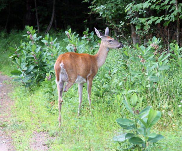 A three-legged deer grazes near Moody Pond in Saranac Lake this week. (Photo provided —Steve Buzzell)