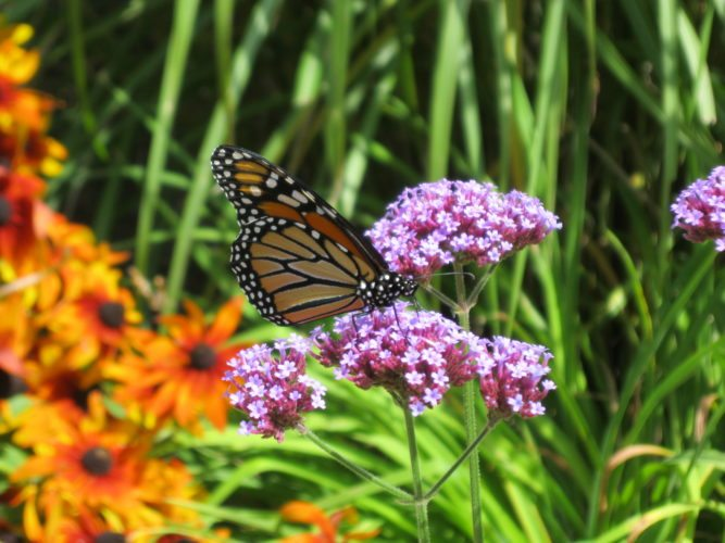 A monarch on milkweed (Photo provided — Diane Chase)