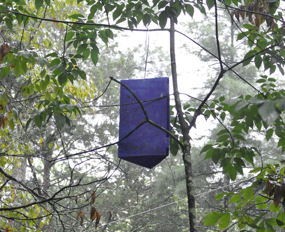 A purple trap like this caught an emerald ash borer in northern Franklin County. (Enterprise photo — Mike Lynch)