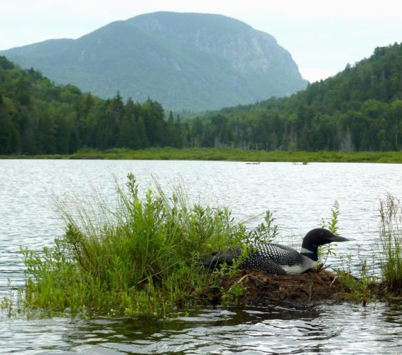 A loon on Henderson Lake with Wallface Mountain in the background. (Provided photo — Joe Hackett)