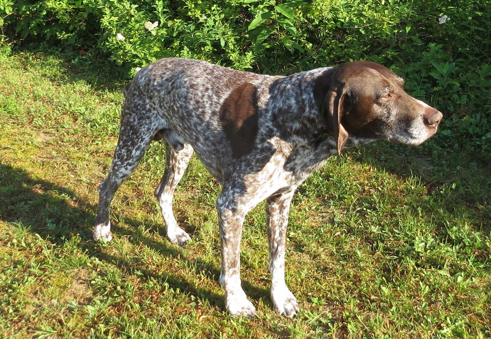 """Gunner,"" a German Shorthair Pointer, recently contracted Lyme disease, which is an affliction that has been steadily increasing across the North Country. (Photo — Joe Hackett)"