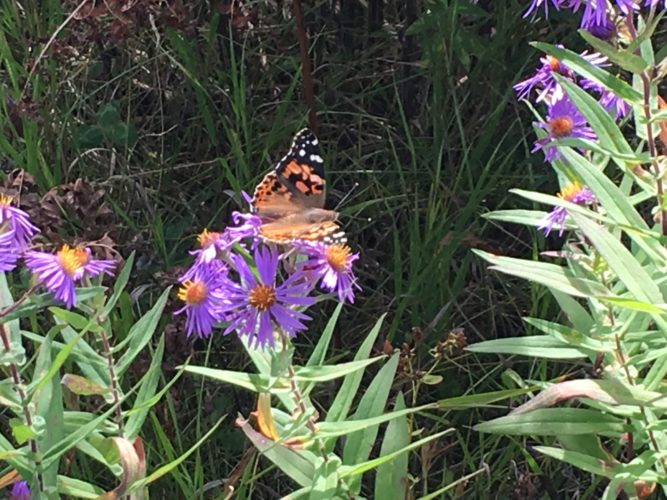 A painted lady butterfly rests on New York aster wildflowers this weekend in Gabriels. (Photo provided — Lewis Rosenberg)