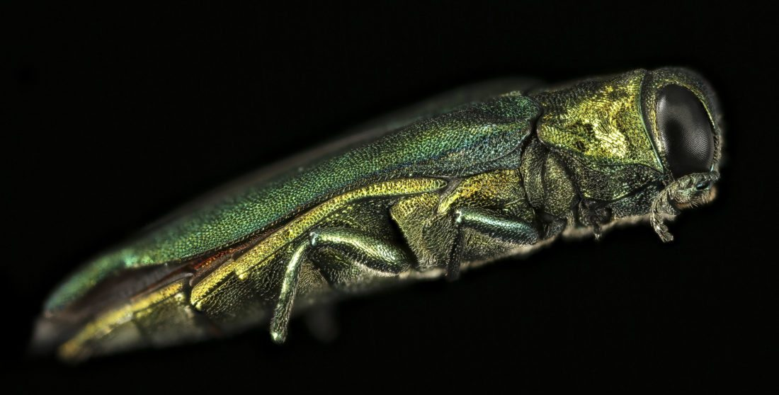 The emerald ash borer is an invasive beetle native to Asia that kills ash trees.  (Photo provided from Wikimedia Commons)
