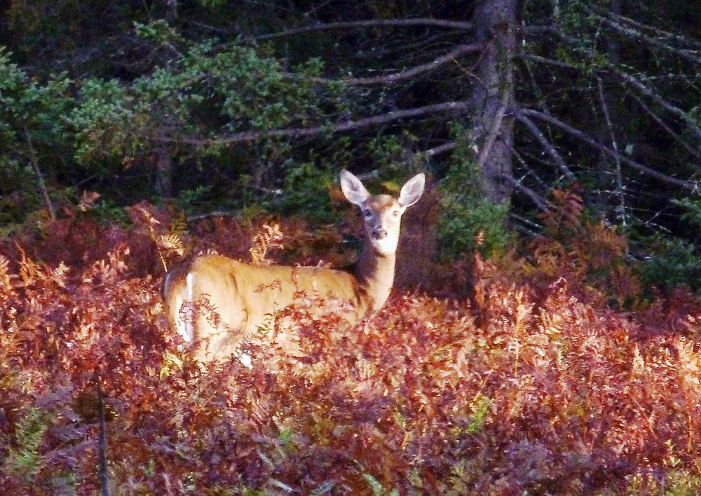 A lone whitetail doe stands on watch while assessing the danger poised by the scent of humans in the cool morning air. (Provided photo — Joe Hackett)