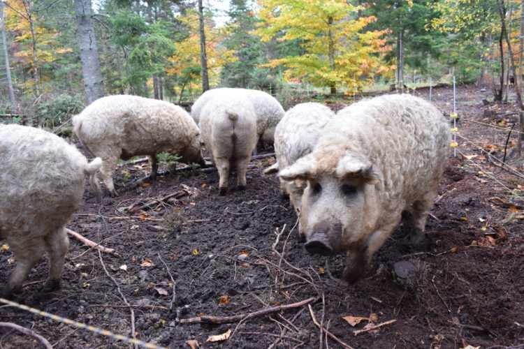 Woolly pigs, a Hungarian breed known as Mangalitsas, root in the ground at Kate Mountain Farm in Vermontville.  (Enterprise photo — Glynis Hart)