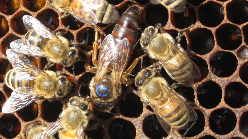 Worker bees with their queen (Photo provided — Aaron Englander, Cornell Small Farms Program)