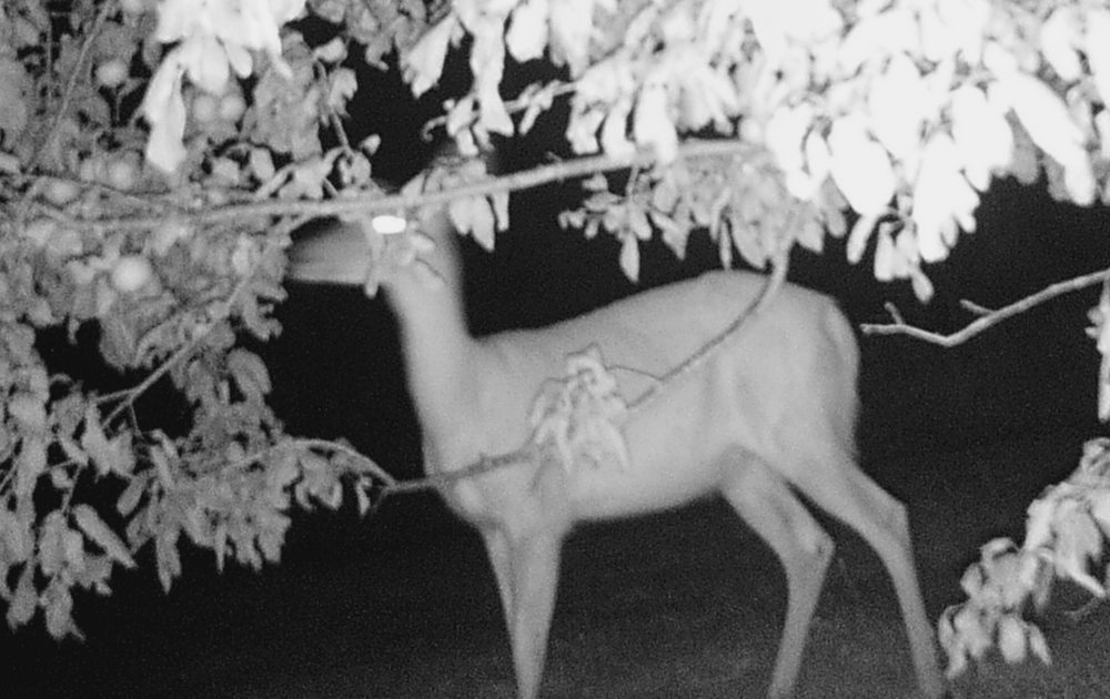 A doe feeds on low-hanging apples in this trail cam photo. (Photo provided)
