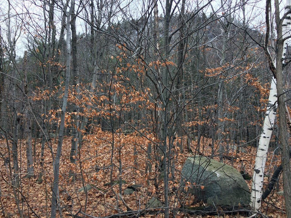 Young beech trees retain their leaves throughout the winter months. (Photo provided by Richard Gast)