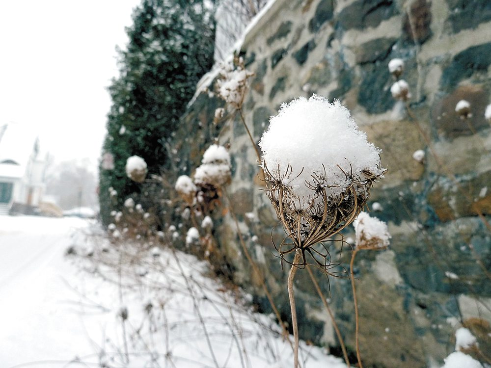 A dead Queen Anne's lace wildflower holds snowflakes Monday in Saranac Lake. (Enterprise photo — Peter Crowley)