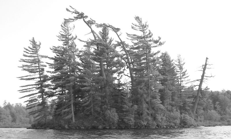 'Banner pines' provide woods walkers with a reliable natural compass as the elongated limbs of tall pines generally point to the west, due to the prevailing westerly winds. (Provided photo — Joe Hackett)