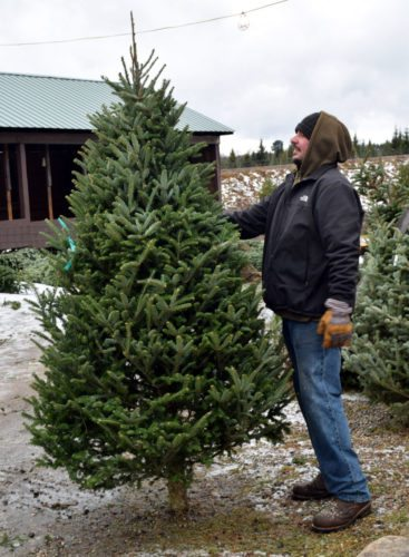"""At Moody Tree Farm in Gabriels, Matt (last name not given) gets ready for a big weekend. """"We can't keep up with the demand,"""" he said.  (Enterprise photo — Glynis Hart)"""