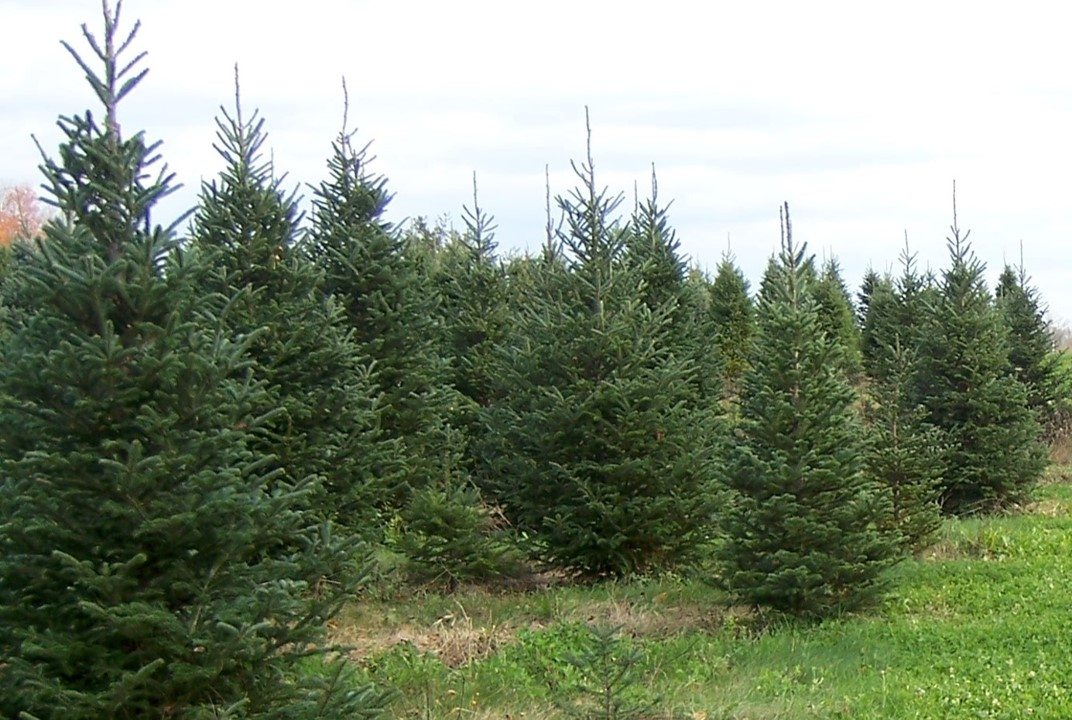 Buy Local Christmas Trees Support Local Growers News Sports