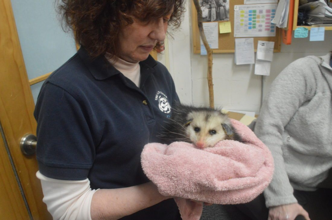 Wild Center veterinary technician Ruth Valentine holds the museum's new opossum while her cage is being cleaned. The marsupial has not been named yet and fans of the Wild Center can submit suggestions on the museum's Facebook or Instagram pages. (Enterprise photo — Aaron Cerbone)