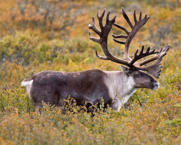 North American bull caribou (Photo provided —National Park Service)