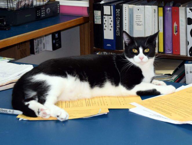 A shelter cat lies atop paperwork at the Tri-Lakes Humane Society in Saranac Lake.  (Enterprise photo — Glynis Hart)