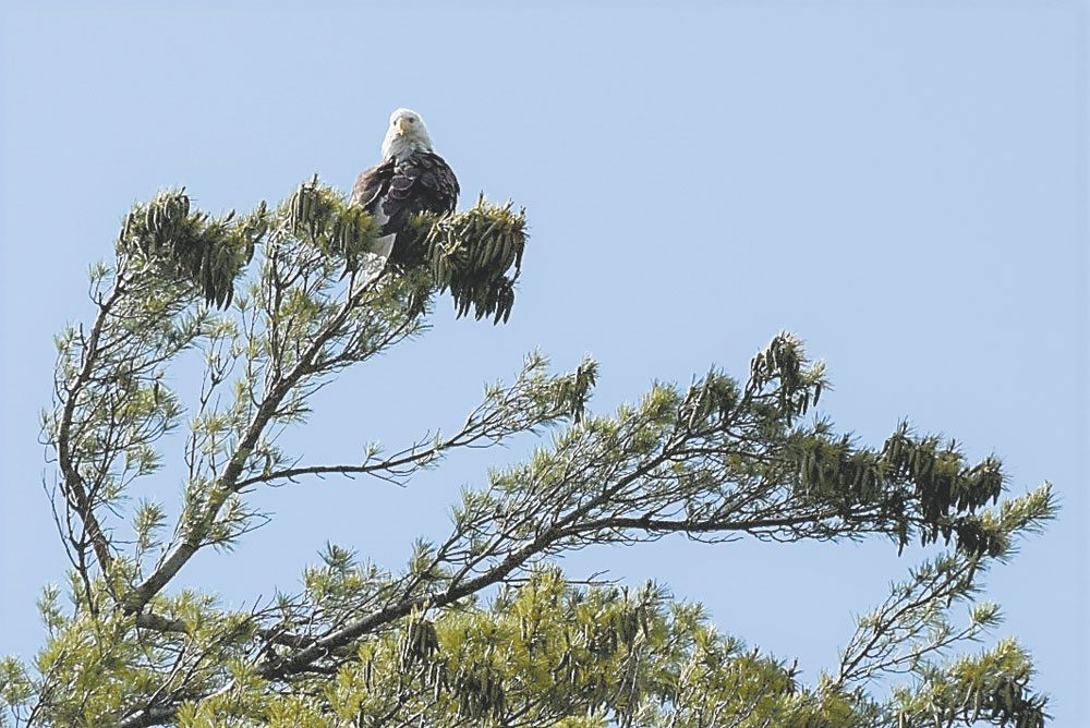 A bald eagle looks down on the Saranac River from the top of a white pine tree on the Fourth of July this year. Usually birders expect to see bald eagles at the Audubon Society's Christmas Bird Count, but not so much this year since cold weather may have frozen waterbodies where the eagles fish. (Enterprise photo — Justin A. Levine)