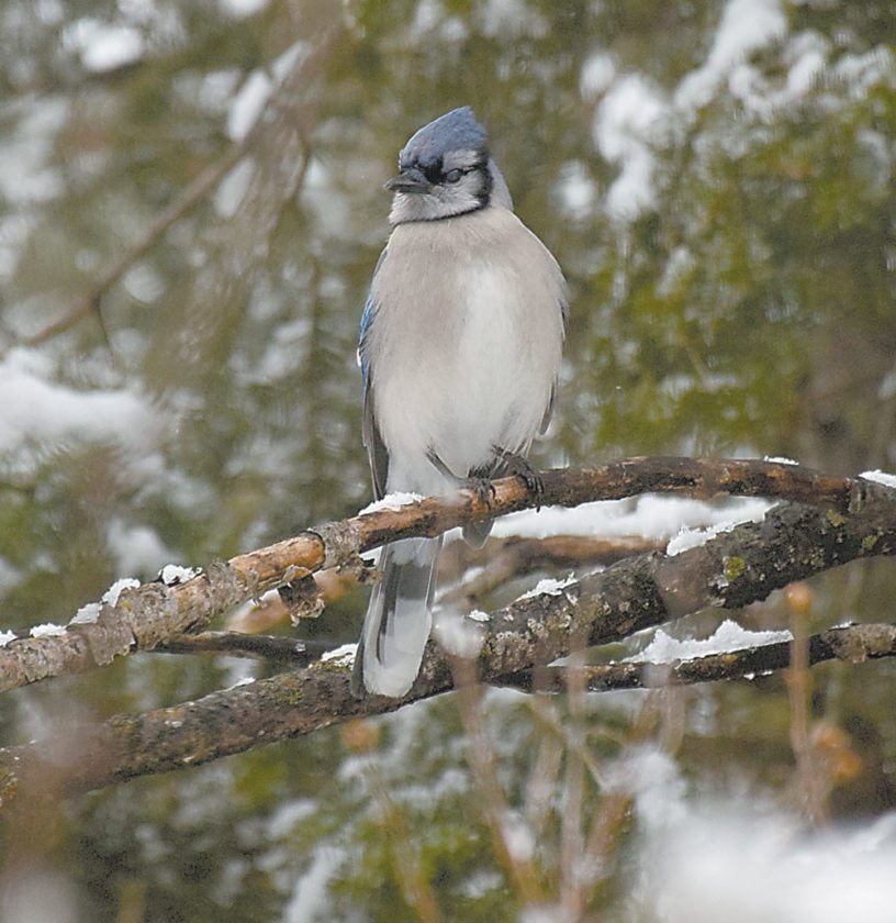 A blue jay sits on a branch in March 2016. (Enterprise photo — Justin A. Levine)