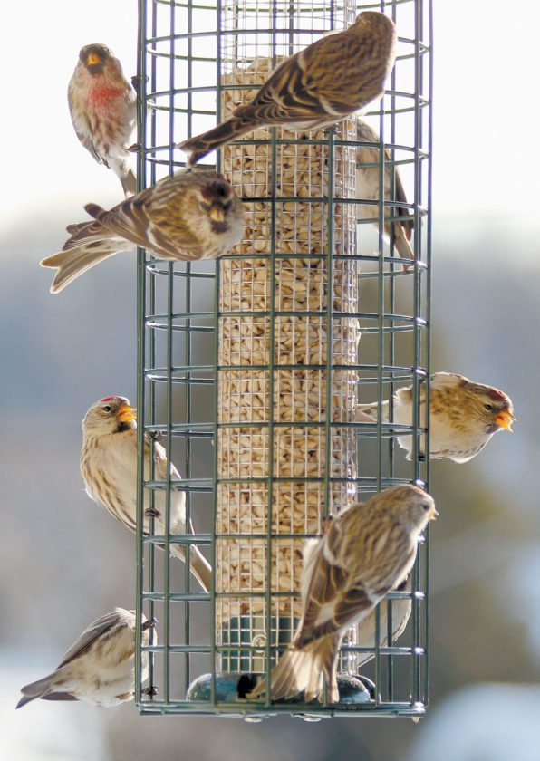 Redpolls gather at a feeder in Saranac Lake in January 2013. (Photo provided — Jim Bishop)