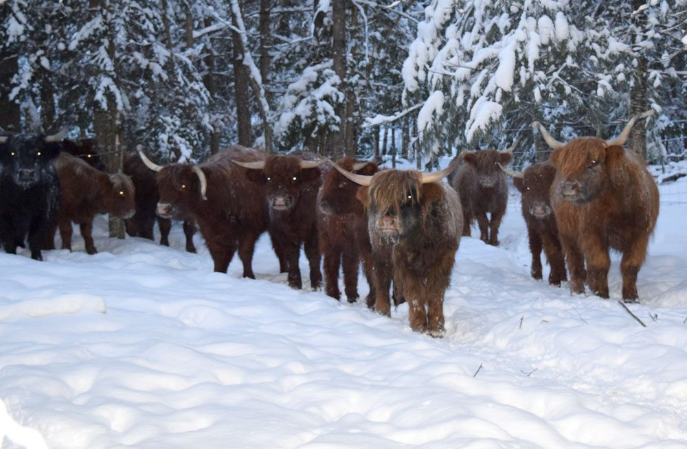 Highland cattle at Atlas Hoofed It farm in Sugarbush wait for the Burkes to rotate them into a different pasture. All the animals on the farm get plenty of room to roam.  (Enterprise photo — Glynis Hart)